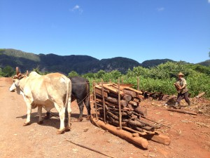 Cows at work